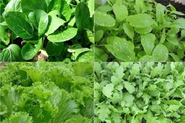 Các loại rau dễ trồng trên sân thượng