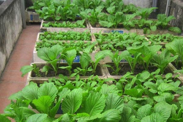 Hướng dẫn cách trồng rau trong thùng xốp